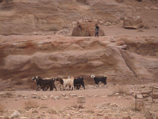Beduini i ich trzoda