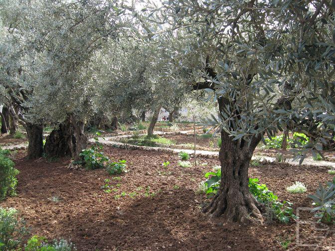Gaj oliwny