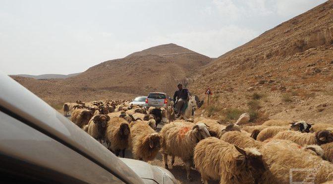 Jordańska trasa i owce