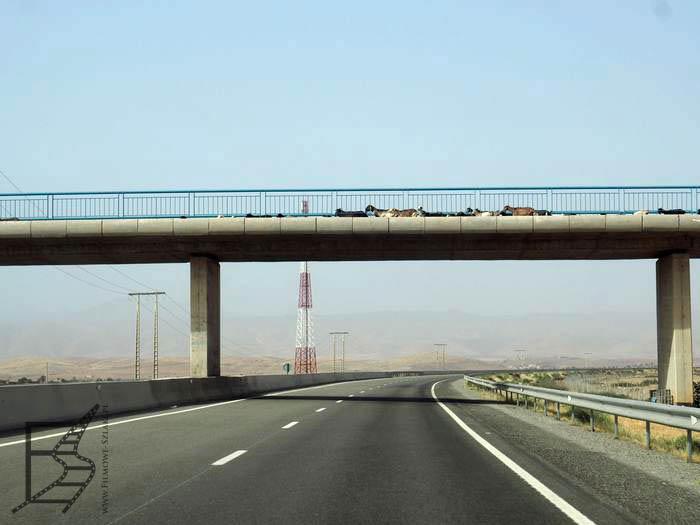 Owce i kozy przechodzące nad autostradą