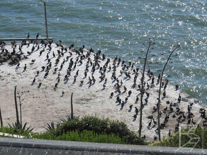 Ptaki na Alcatraz