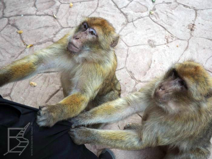 Makaki chcą jeść
