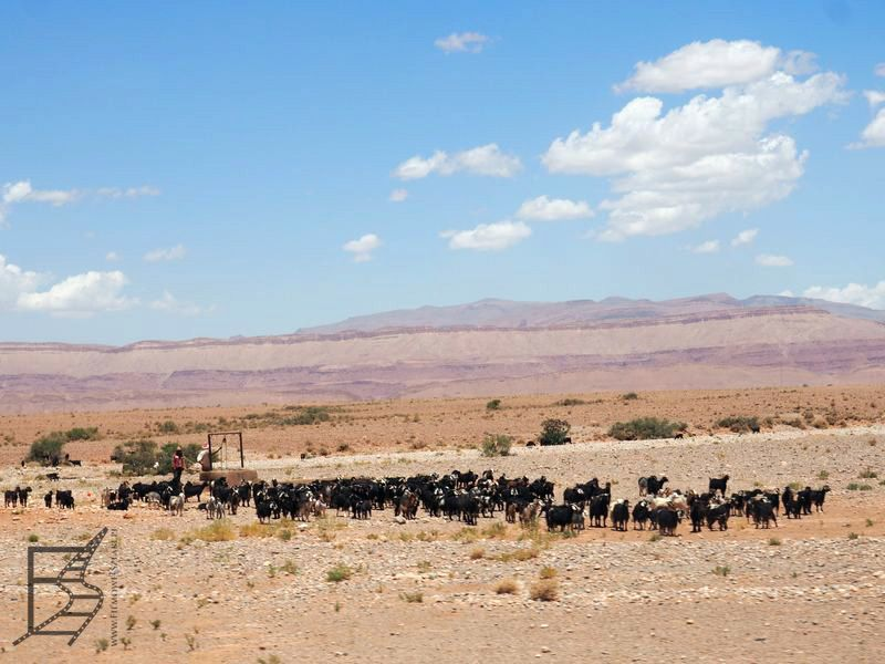 Owce i kozy poza trasą