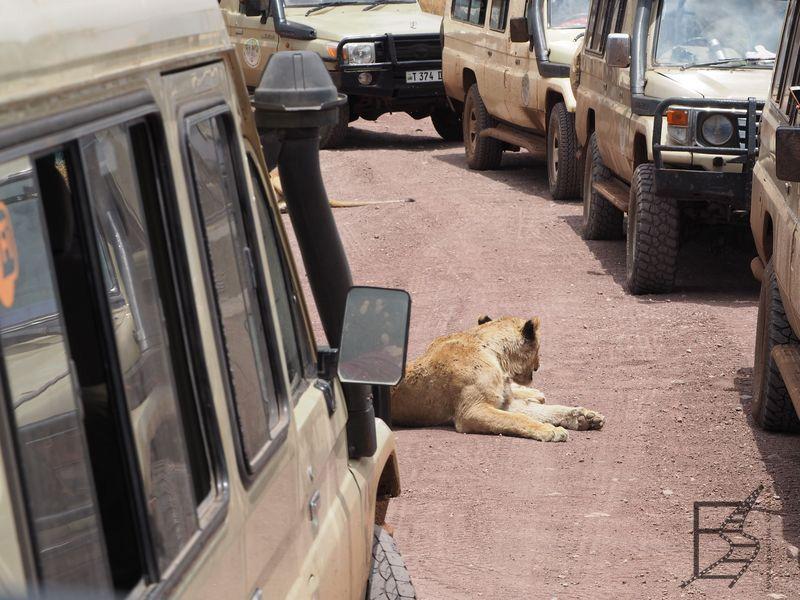 Lwy na drodze w Ngorongoro