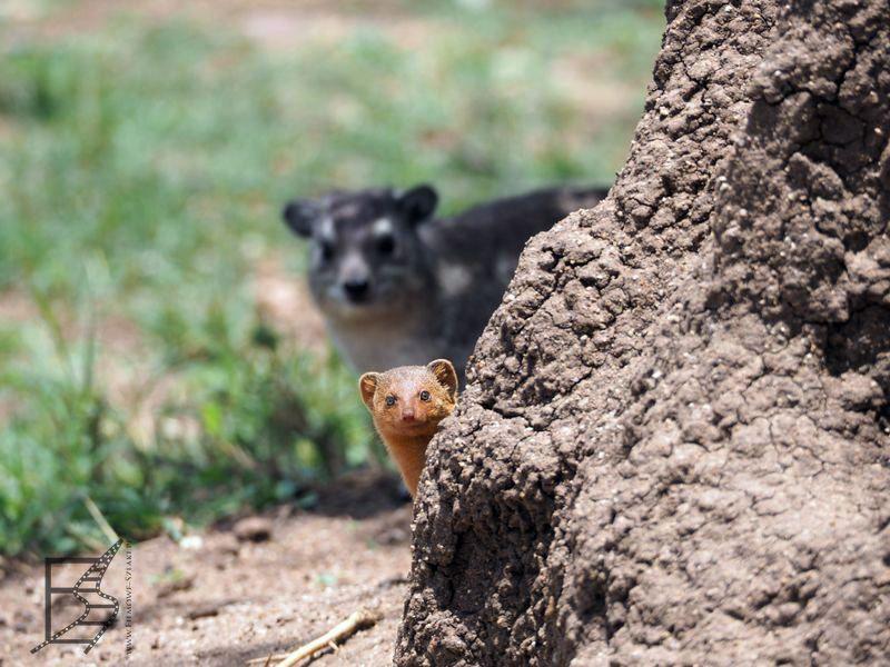 Obóz w Serengeti z termitierą, góralką (w tle) i mangustką.