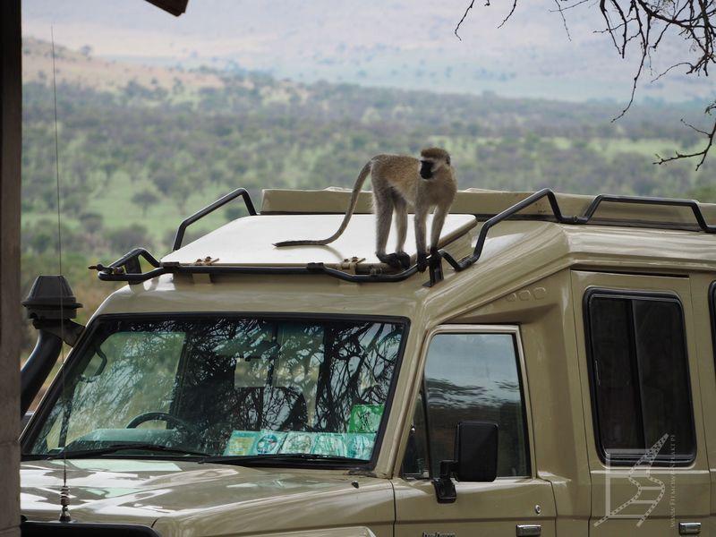 Lobo w Serengeti