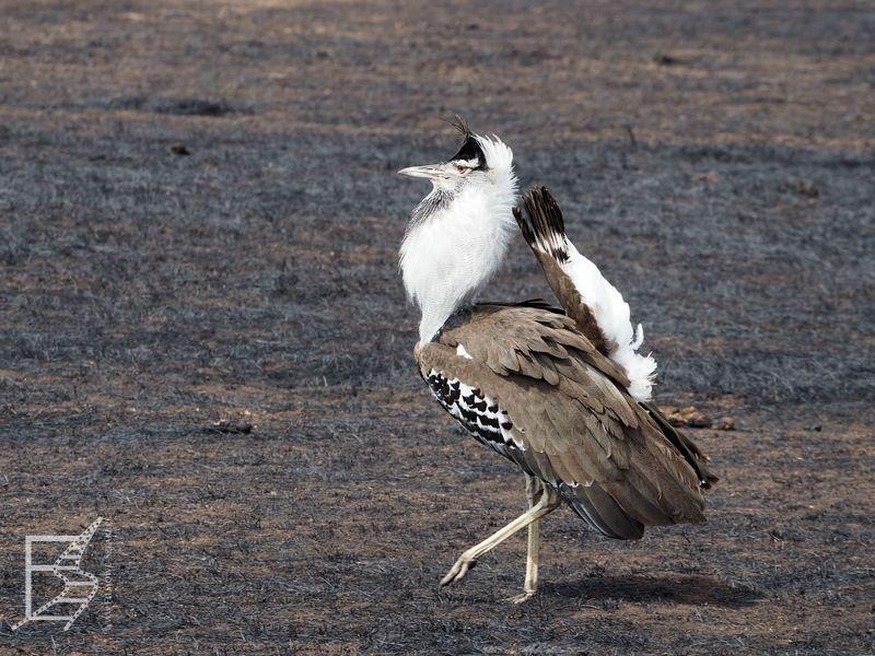 Drop olbrzymi (Ardeotis kori) - samiec