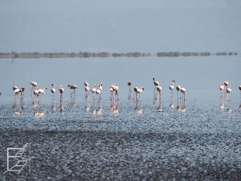 Flamingi (słone, bezodpływowe jezioro Natron)