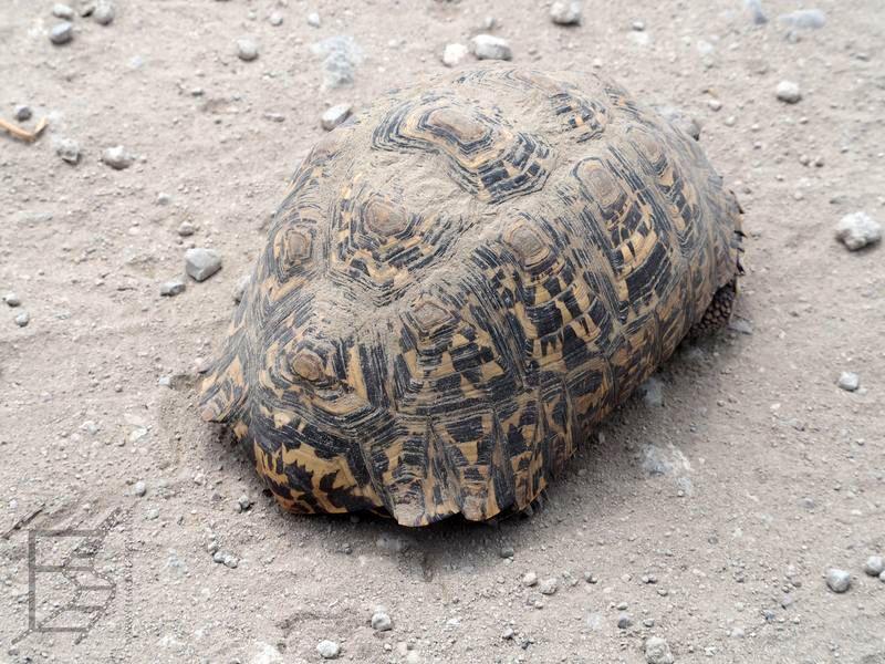 Żółw lamparci (Psammobates pardalis)