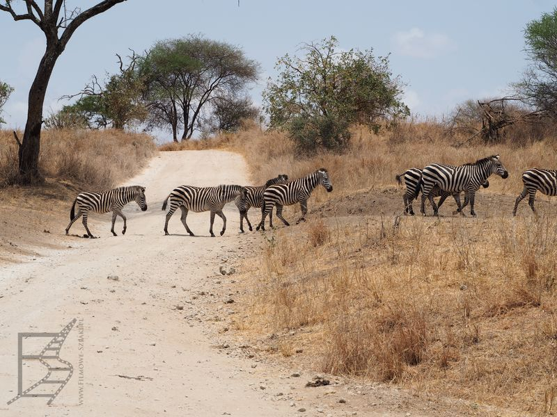 Zebry w Tarangire