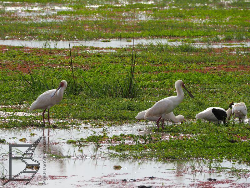 Warzęchy (jezioro Manyara)