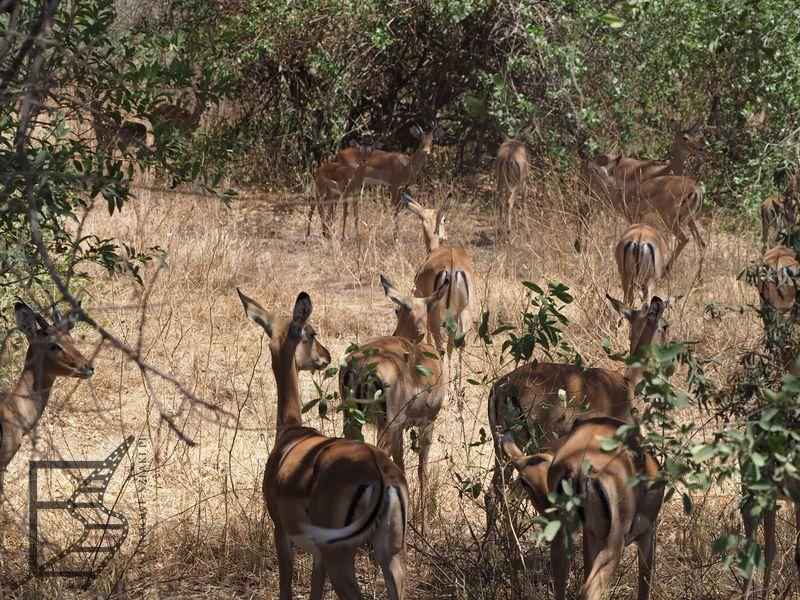 Impala zwyczajna (Aepyceros melampus)