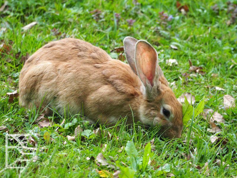 Belgijski królik