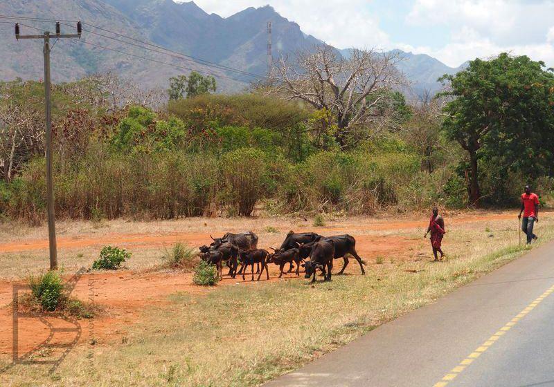 Przepędzanie bydła