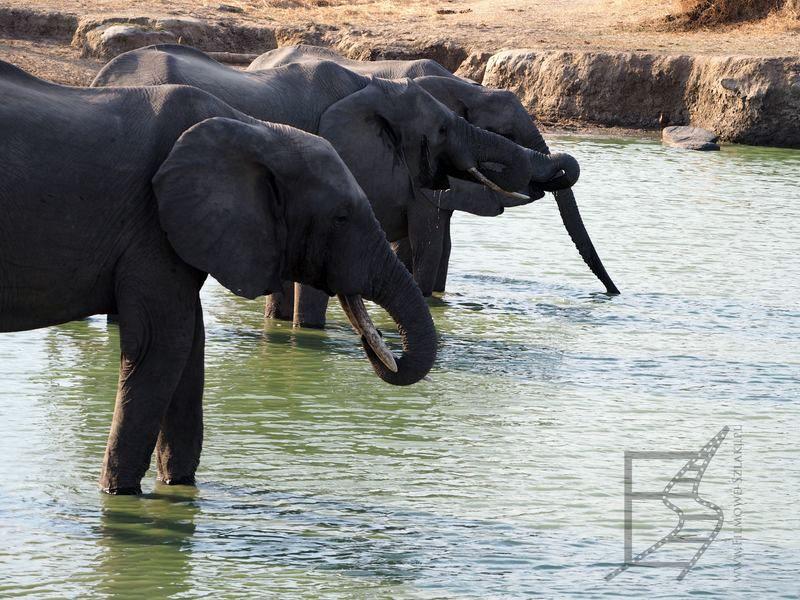 Słonie pijące wodę w Mikumi