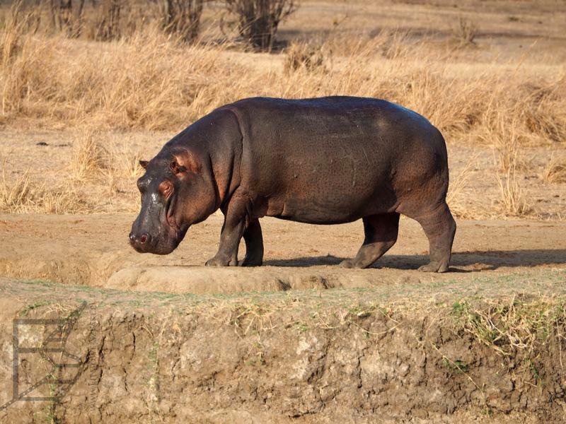 Hipopotam wracający z żeru