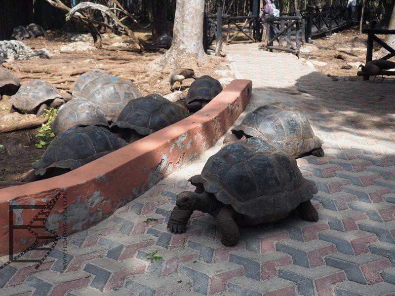 Żółwie olbrzymie
