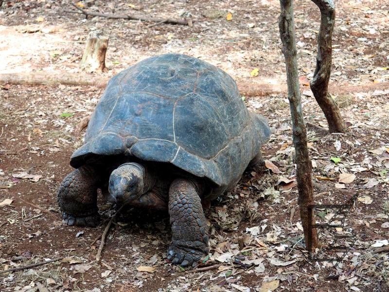 Żółw olbrzymi