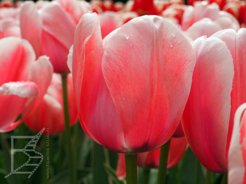 Śliczny tulipan
