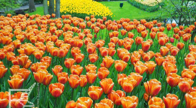 Keukenhof, ogród tulipanów w Lisse