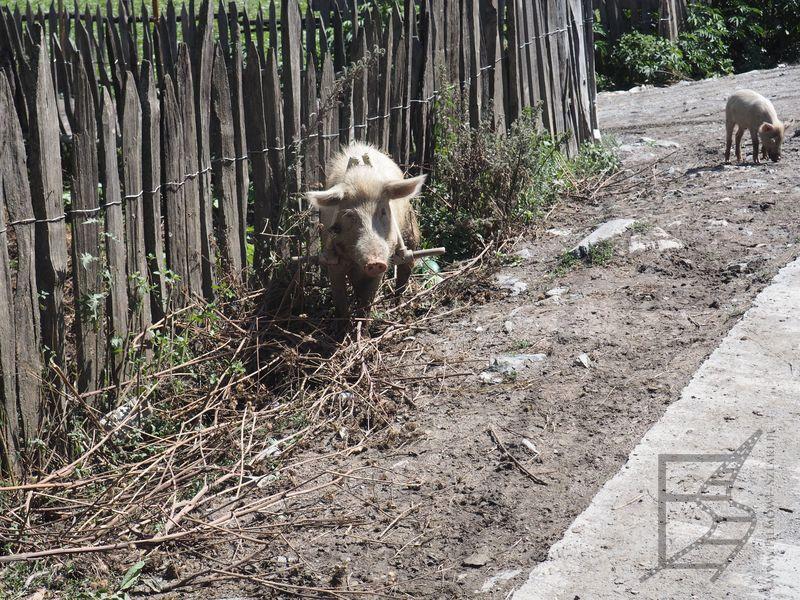 Świnia z drewnianym trójkątem, by było łatwiej ją złapać