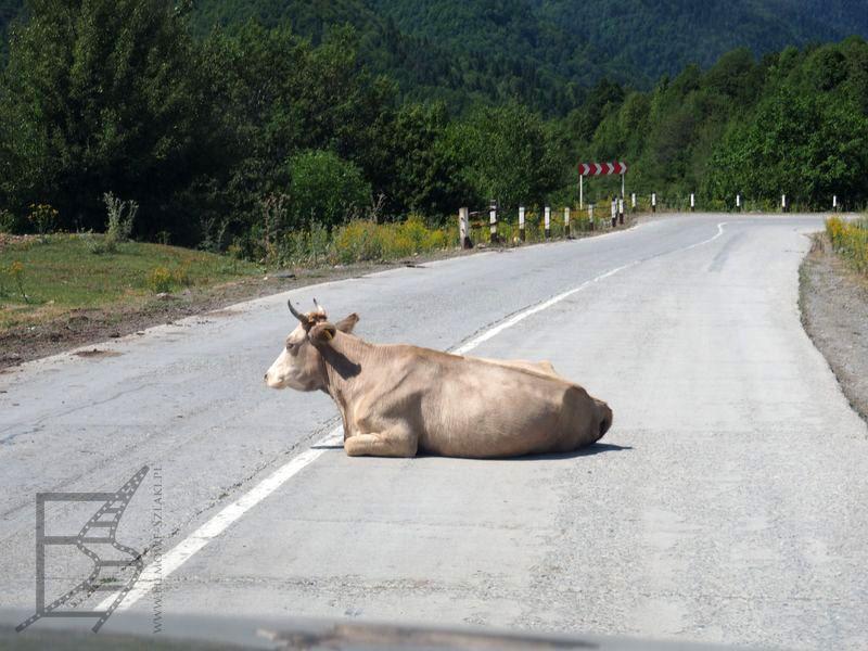Krowa wypoczywająca na drodze
