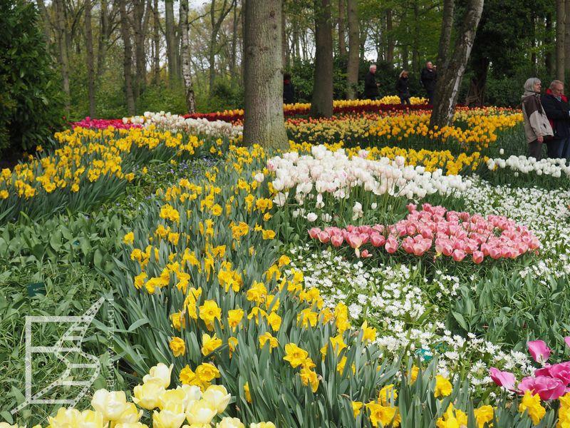 Rabatki kwiatowe nie tylko z tulipanami (są np. żonkile)