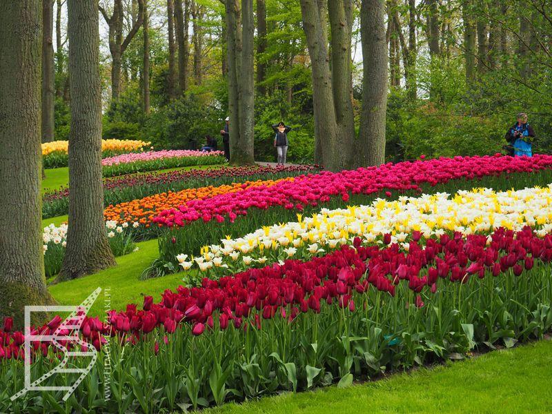 Tulipany między drzewami układane w różne kompozycje