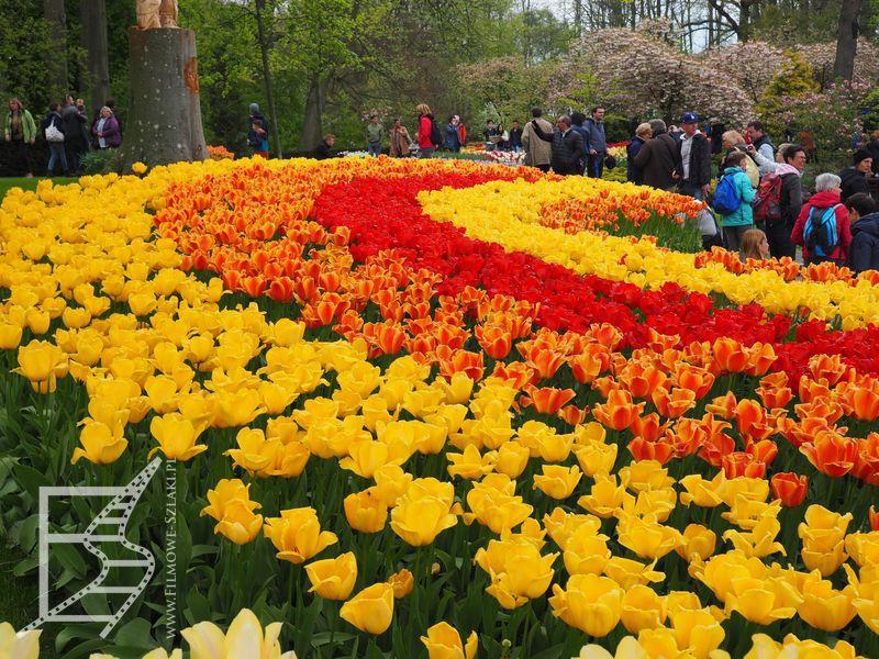 Tulipany w Keukenhof