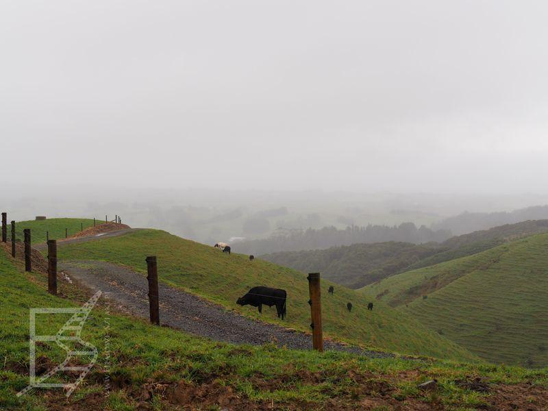 Krowy przy drodze
