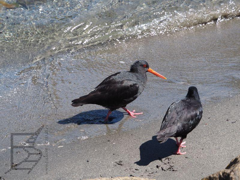 Ostrygojady w zatoce Milforda