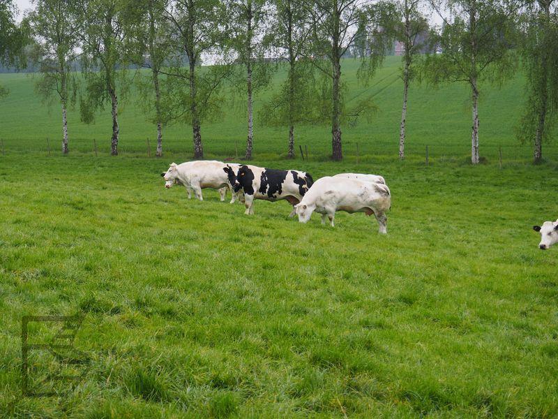 Krowy na farmie