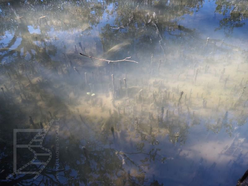 Młode namorzyny w wodzie