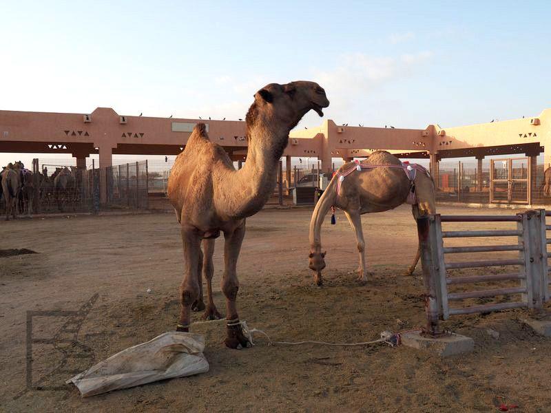 Targ wielbłądów w Al-Ajn