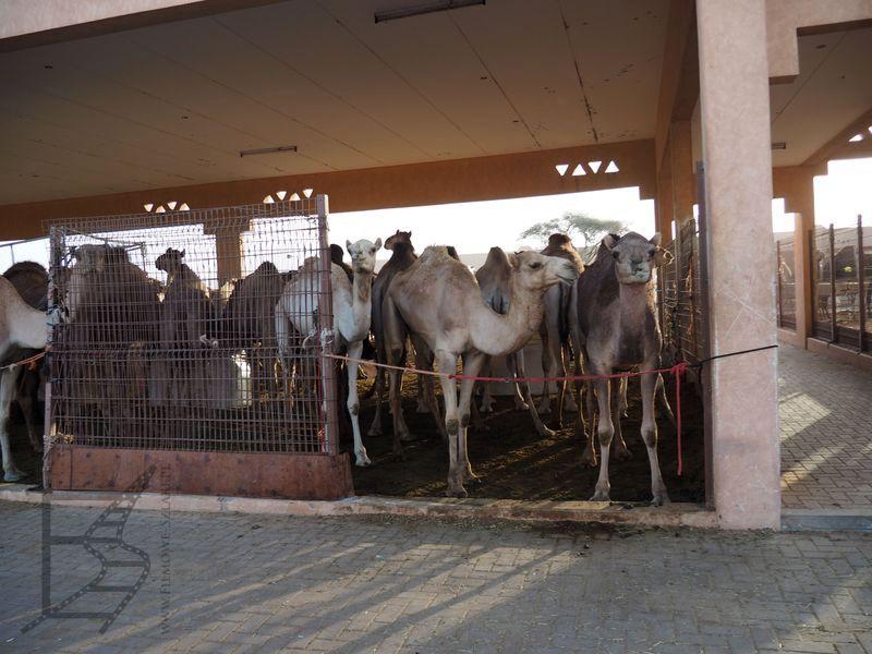 Targ wielbłądów