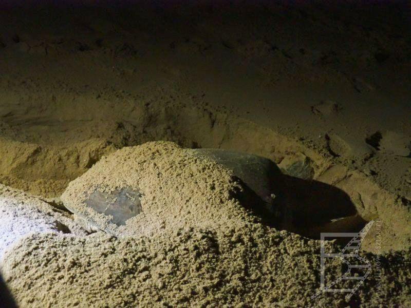 Żółwica w Ras Al Jinz