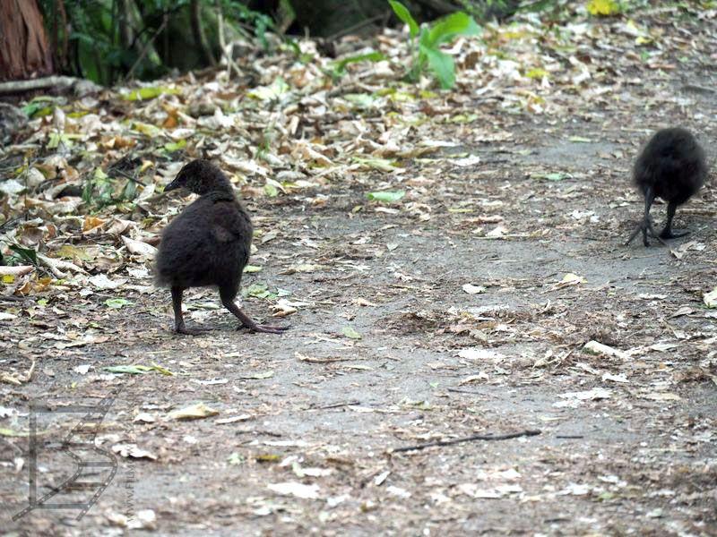 Młoda weka (Gallirallus australis). Waka inaczej jest też zwana kurą maoryską lub kurą leśną.