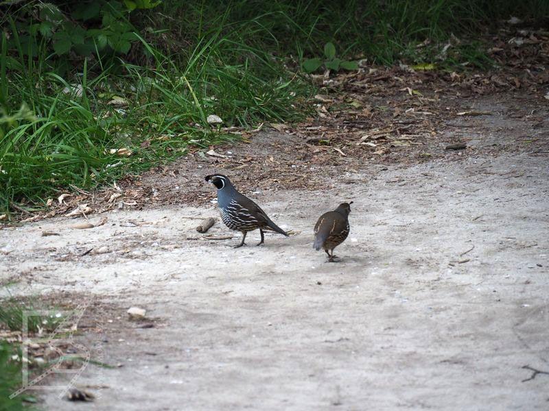 Ptaki w Abel Tasman to nie zawsze rdzenne gatunki. Przepiór kalifornijski (Callipepla californica) to dobry przykład nowych ptaków.