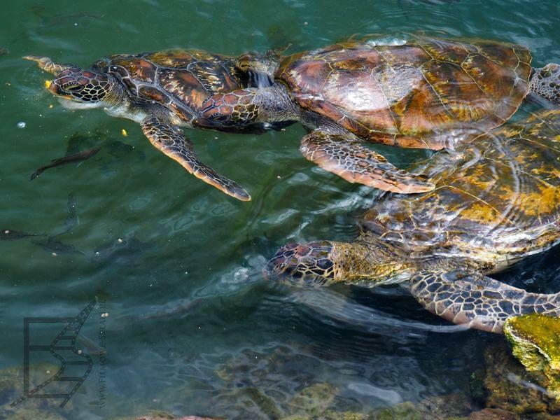Żółwie zielone