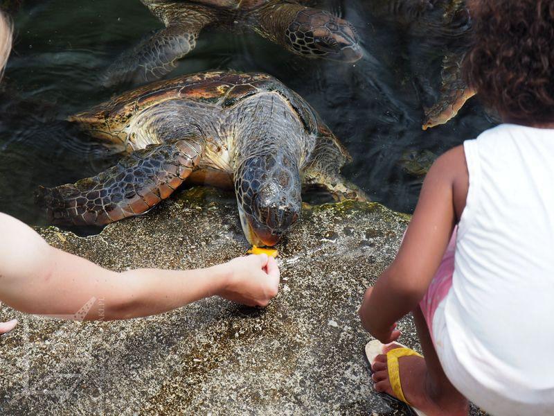 Karmienie żółwi