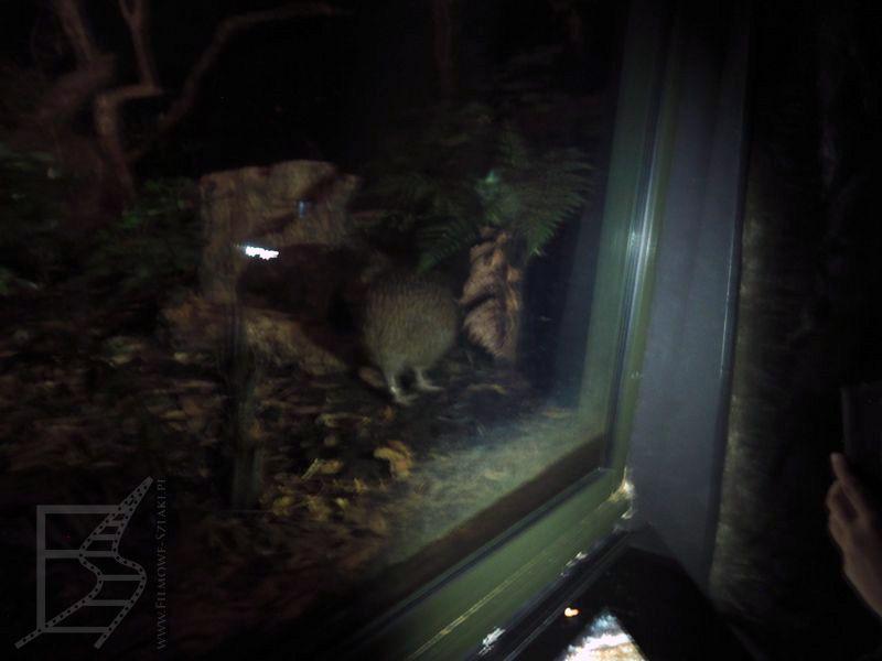 Kiwi można zobaczyć tylko w ciemnych pawilonach