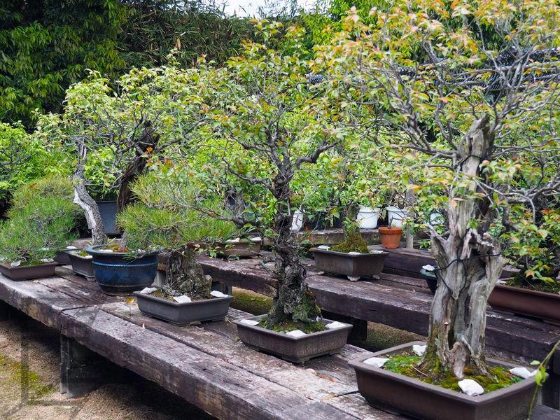 Bonsai w ogrodzie Koko-en