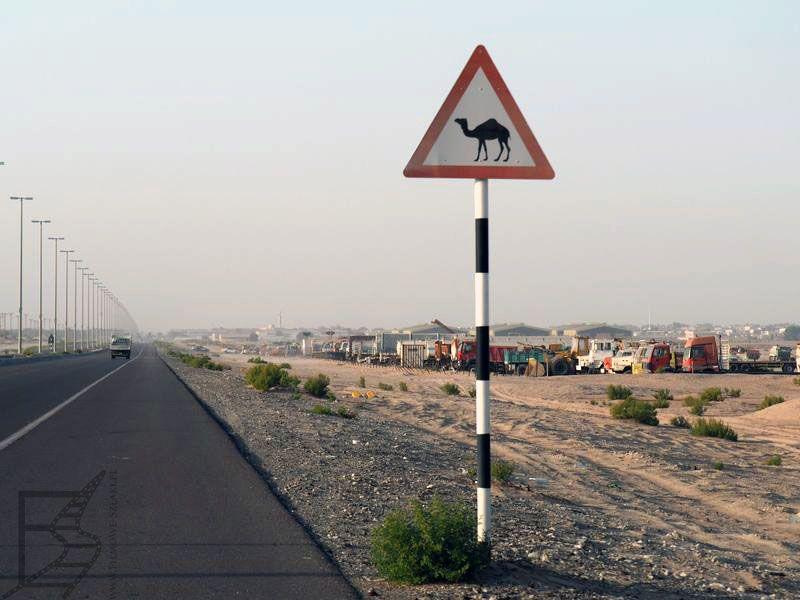 Uwaga wielbłąd w Emiratach
