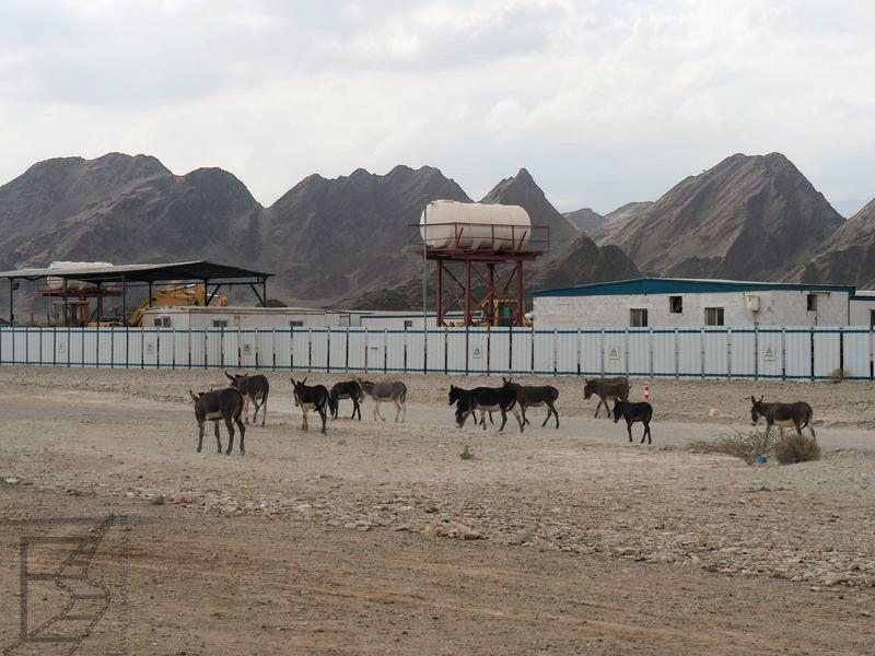 Zwierzęta przy drodze w Omanie