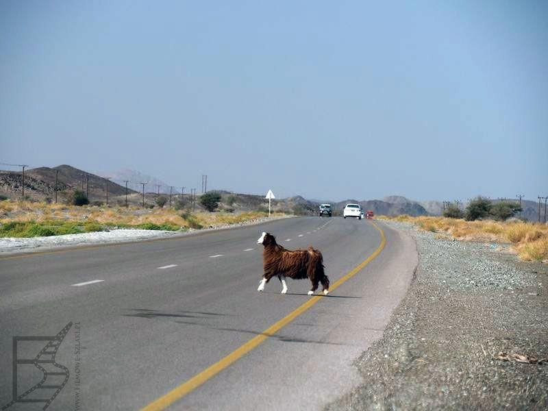 Owca na drodze (Oman)