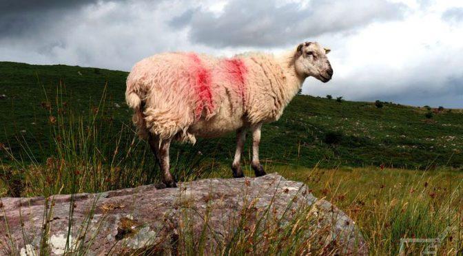 Irlandia - owca, łąka i skały