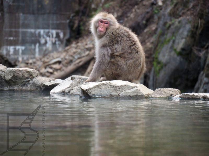 Makak japoński nad małpim onsenem