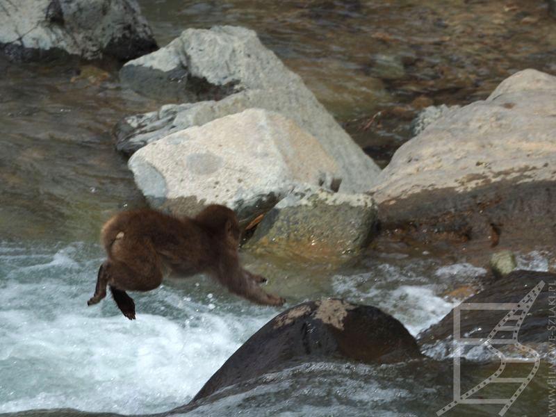 Małpa skacząca nad wodą