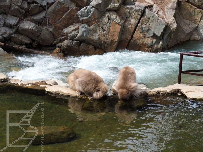 Małpy nad onsenem