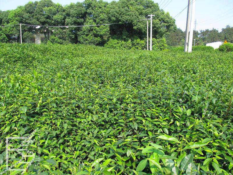 Pole herbaciane Wuxi
